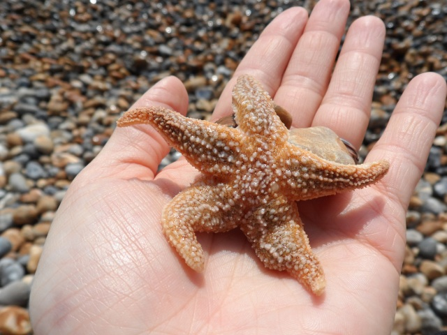 A nearly squished, but very alive starfish.